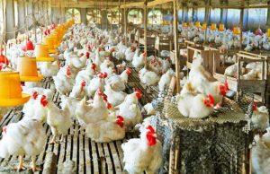 汉密尔顿养鸡场出售 photo